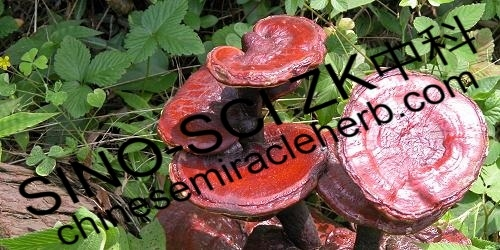 ganoderma-lucidum-plant-zhongke-huangshan-mountain